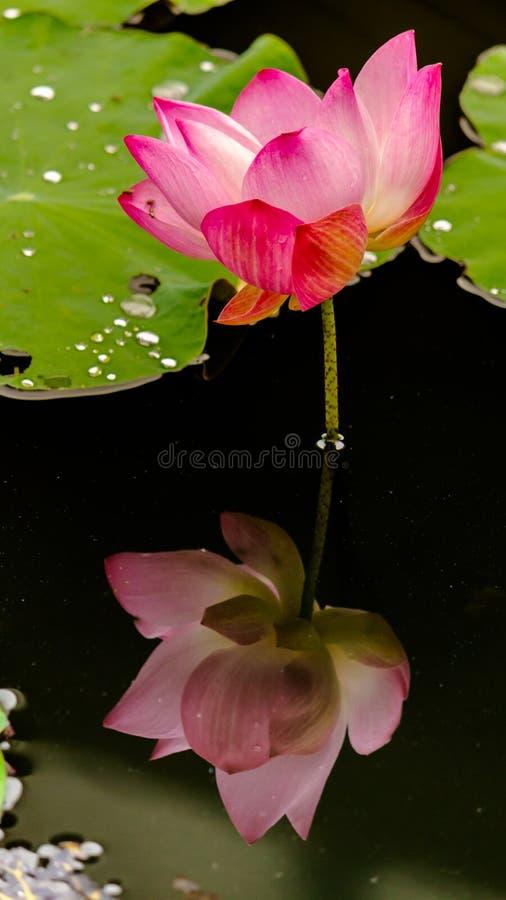 Härlig rosa lotusblommablomma i dammet royaltyfri bild