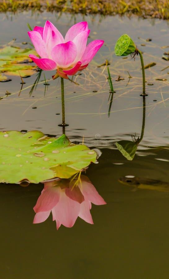 Härlig rosa lotusblommablomma i dammet royaltyfria bilder
