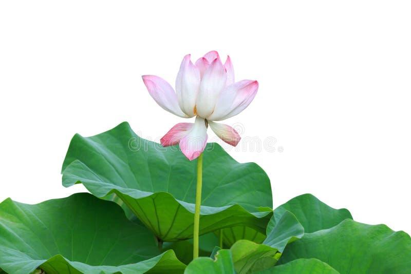 Härlig rosa lotusblommablomma som isoleras på vit Sparat med clippi royaltyfri bild