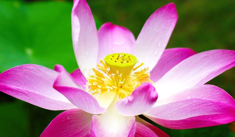Härlig rosa lotusin skogen arkivfoton