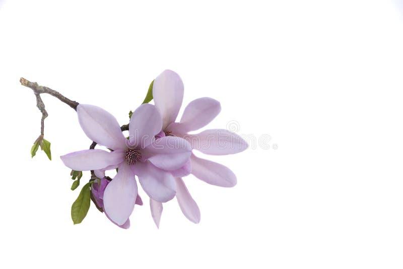 Härlig rosa magnoliablomma som isoleras på en vit bakgrund royaltyfri fotografi
