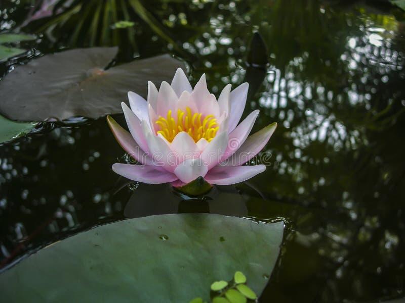 Härlig rosa näckros- eller lotusblommablomma Marliacea Rosea i det svarta vattnet av dammet royaltyfria foton