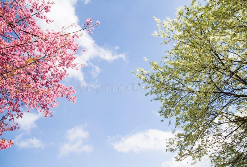 Härlig rosa och vit blomma för körsbärsröd blomning som blommar i blå himmel och vita moln, sakura träd arkivfoton