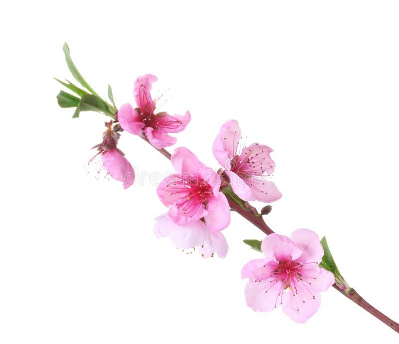 Härlig rosa persikablomning fotografering för bildbyråer
