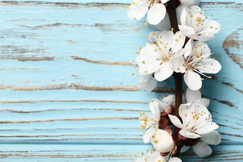 Härlig rosa persikablomning blomma persikaträdet på en blå träbakgrund arkivbild