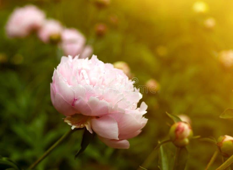 Härlig rosa pion i trädgård mot vibrerande grön suddig bakgrund arkivbilder