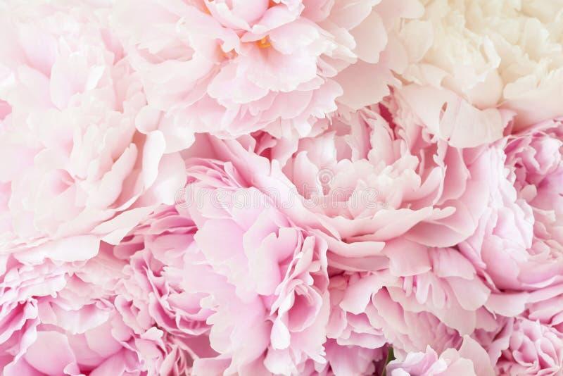 Härlig rosa pionblommabakgrund arkivfoto