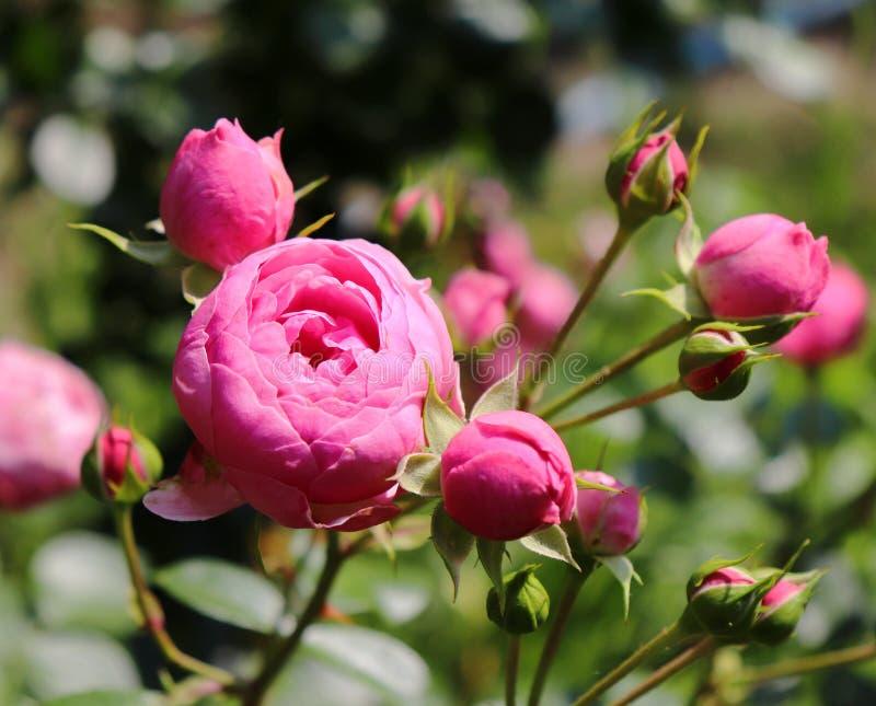 Härlig rosa röd ros för Closeup som fotograferas i den organiska trädgården med suddig lövverk frigör stället för text en arkivfoton