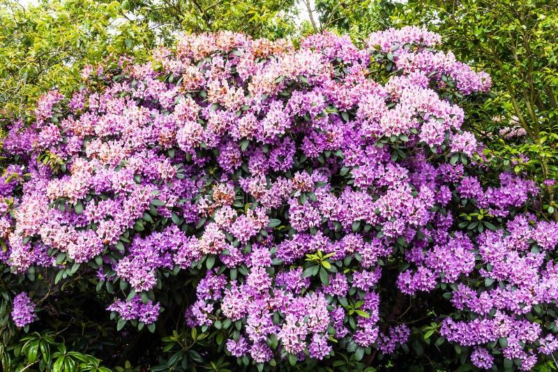 Härlig rosa rhododendron royaltyfria bilder