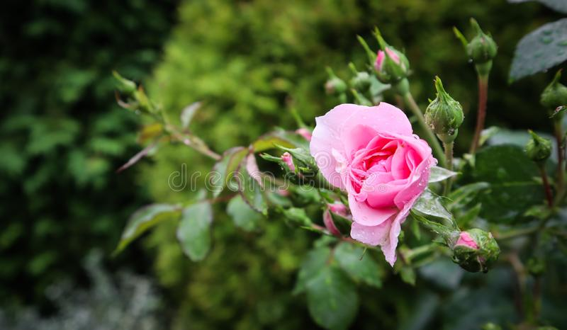 Härlig rosa ros Bonica med knoppar och daggdroppar i trädgården Göra perfekt för bakgrund av hälsningkort för födelsedag, valenti royaltyfri fotografi