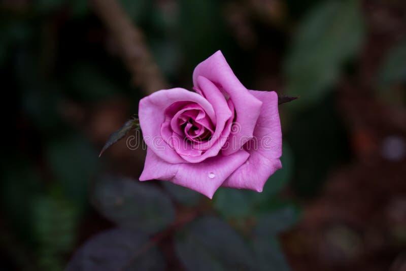 Härlig rosa ros med bakgrundssuddighet fotografering för bildbyråer