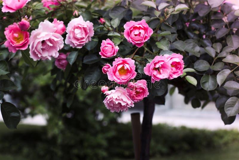 Härlig rosa rosväxt på gröna sidor i en trädgård Rospergola Naturmodell royaltyfri foto