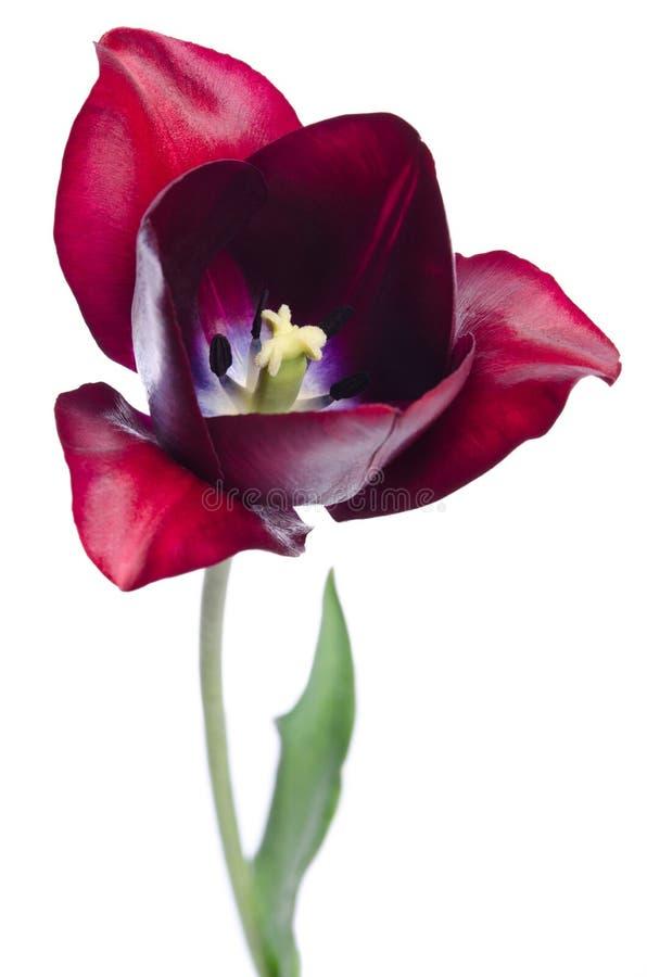 härlig rosa tulpan royaltyfri bild