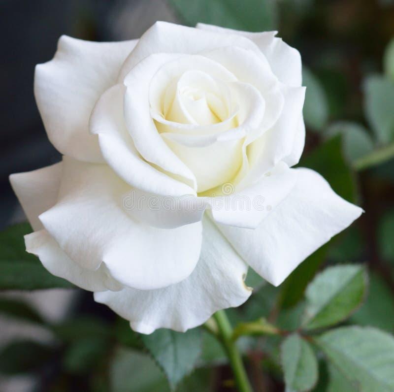 härlig rosewhite royaltyfri bild