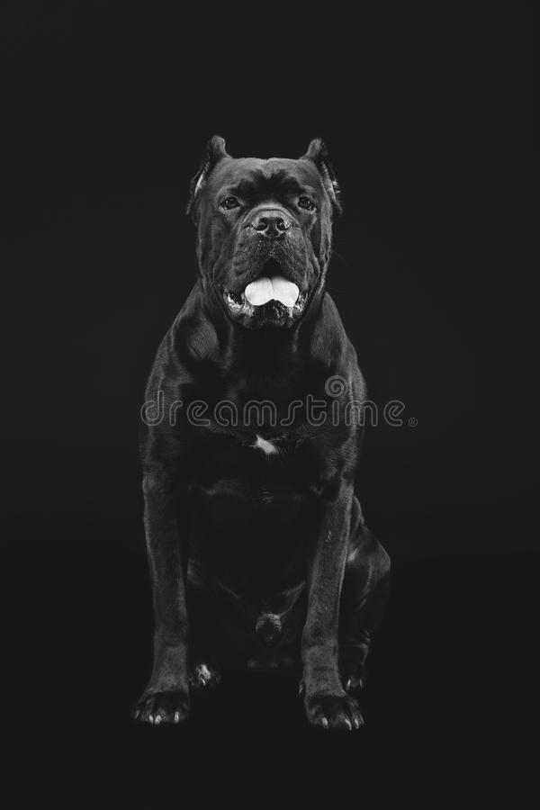 Härlig rottingcorsohund royaltyfri foto