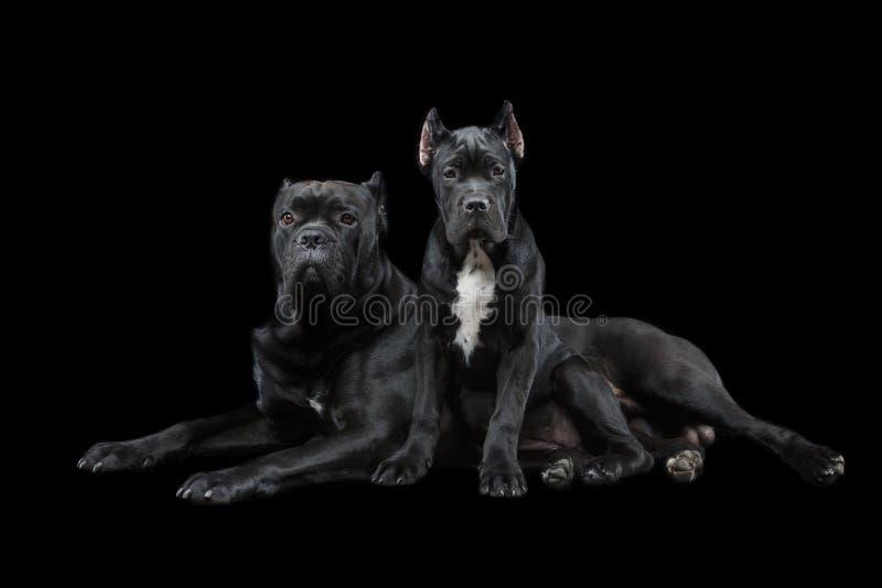 Härlig rottingcorsovalp och hund royaltyfri fotografi