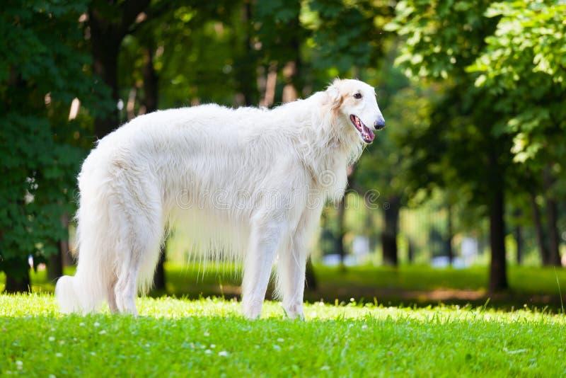 Härlig rysk vinthund för hundavelryss royaltyfri foto