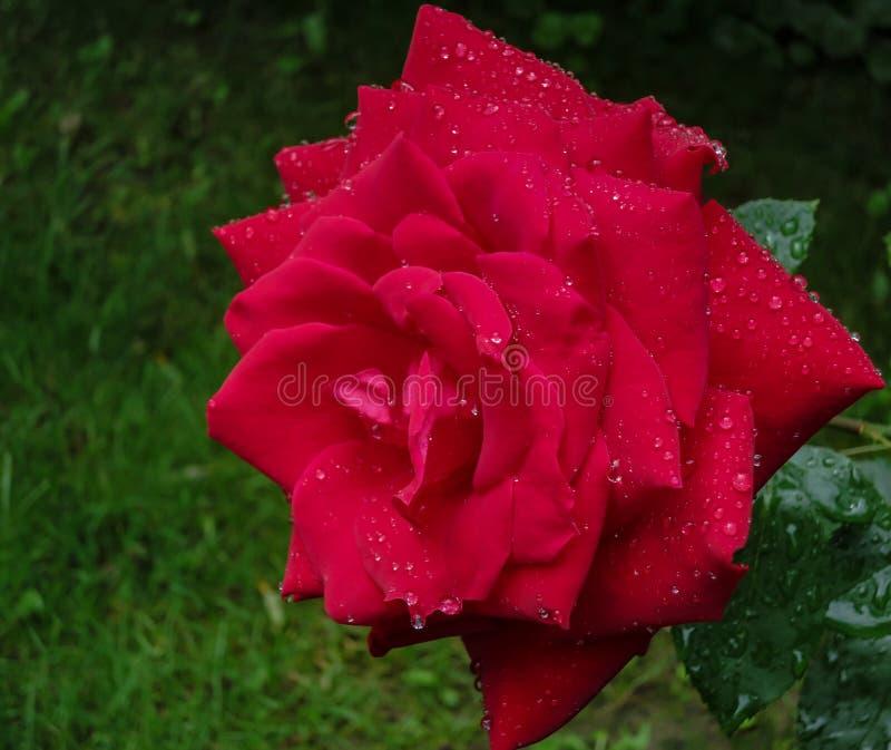 Härlig scharlakansrött steg Red Star med stora och genomskinliga regndroppar på en suddig grön trädgårdbakgrund med bokeh arkivfoton