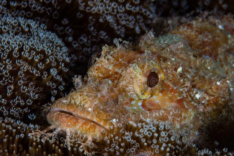 Härlig Scorpionfish och korall i Raja Ampat arkivbilder