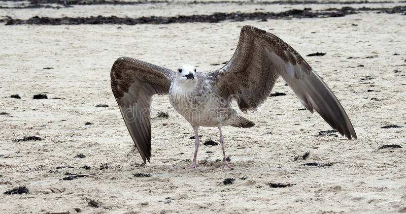 Härlig seagull på sand nära havet, Litauen royaltyfria bilder