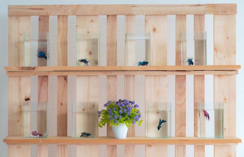 Härlig siamese bettafisk i exponeringsglaset och vattnet på väggträ fotografering för bildbyråer
