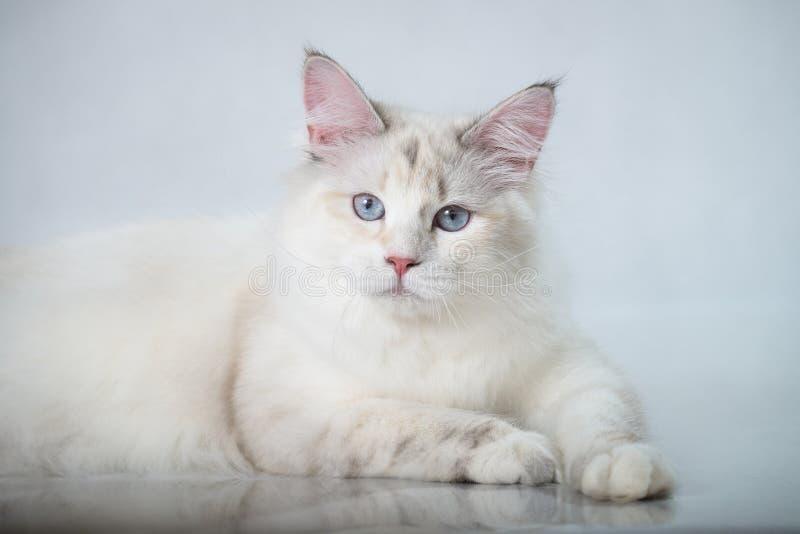 Härlig Siberian strimmig kattpunktkatt med blåa ögon på en vit studiobakgrund royaltyfri foto