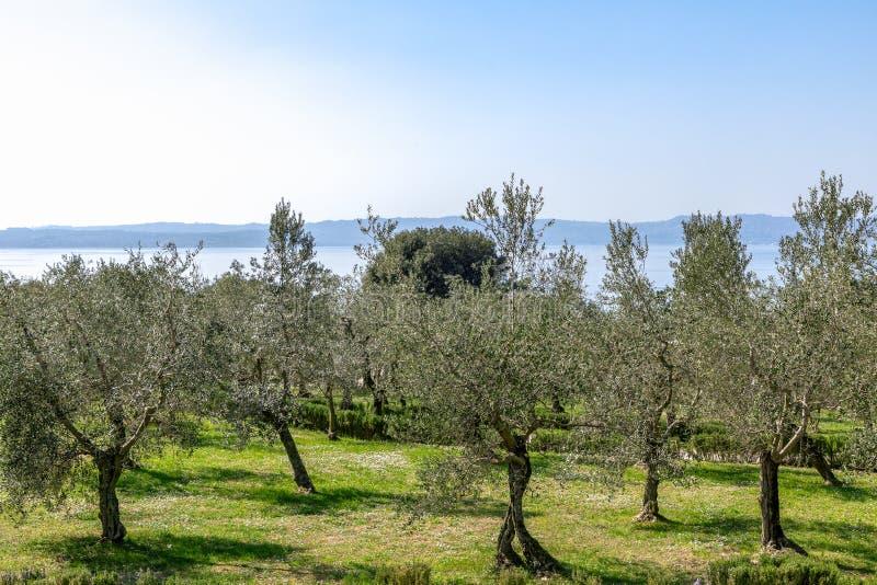 Härlig sikt av den olivgröna dungen på kusten av sjön Garda Sirmione Italien arkivbild
