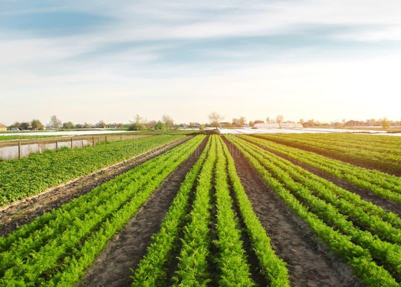 Härlig sikt av en morotkoloni som växer i ett fält organiska gr?nsaker lantbruk Jordbruk Selektivt fokusera royaltyfria bilder