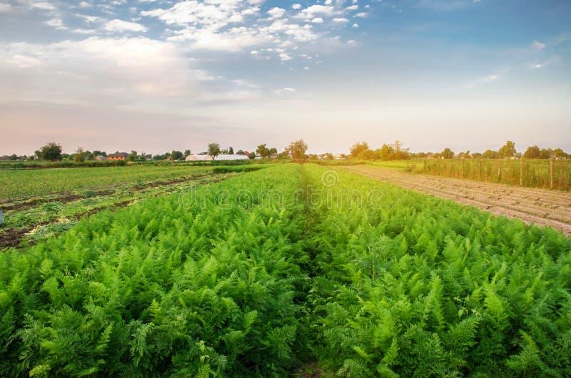 Härlig sikt av morotkolonin i det jordbruks- fältet V?xande organiska gr?nsaker ?kerbruk lantbruk Ukraina, fotografering för bildbyråer