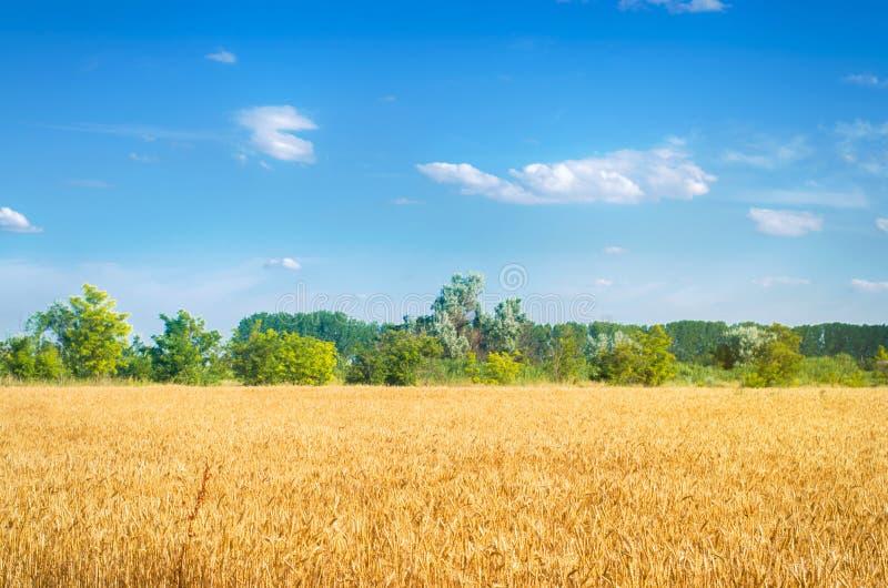 Härlig sikt av vetefältet och den blåa himlen i bygden Odling av skördar ?kerbruk lantbruk Agro bransch arkivfoto