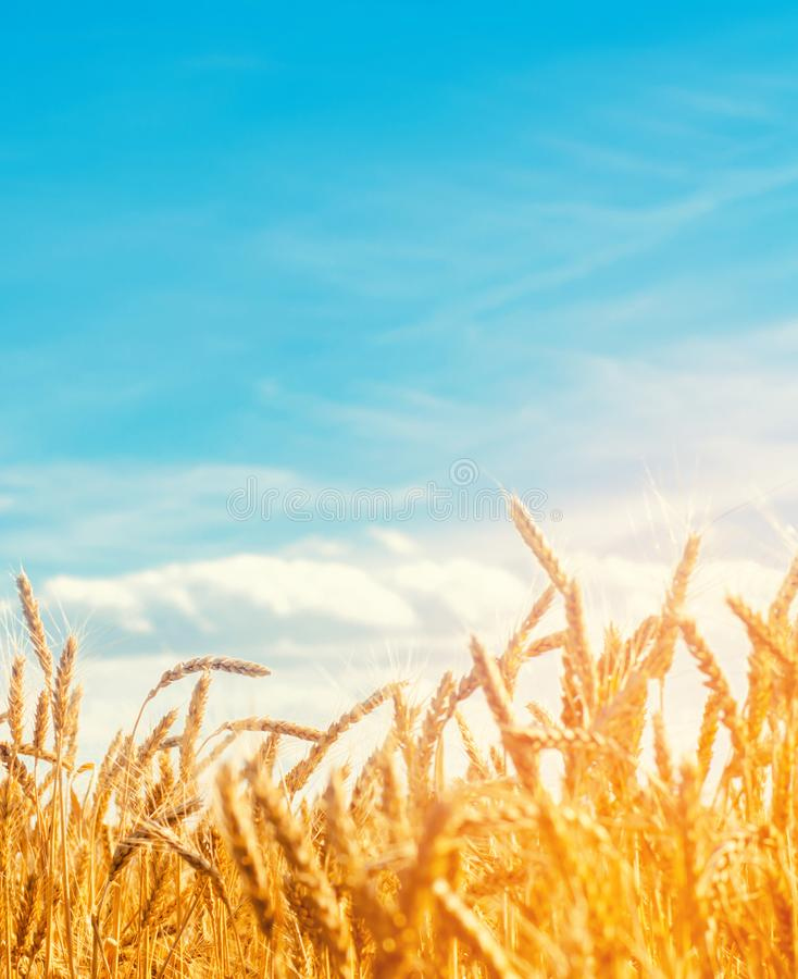 Härlig sikt av vetefältet och den blåa himlen i bygden Odling av skördar ?kerbruk lantbruk Agro bransch fotografering för bildbyråer