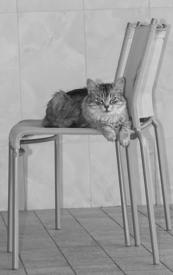 Härlig silverkatt av den siberian avelkvinnlign som ligger på en stol i studion royaltyfria bilder