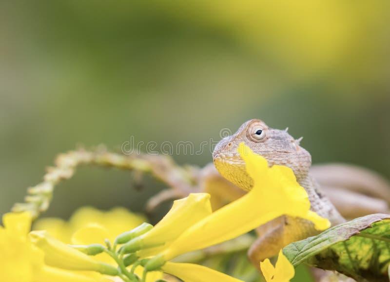 Härlig skäggig drakeödla in - mellan gula blommor arkivfoton