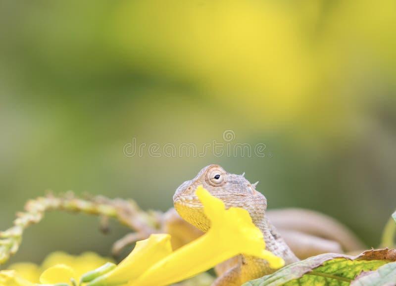 Härlig skäggig drakeödla in - mellan gula blommor arkivfoto