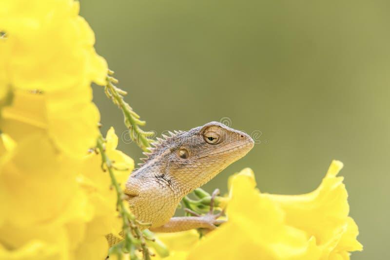 Härlig skäggig drakeödla in - mellan gula blommor arkivbild