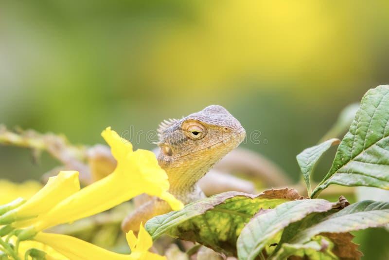 Härlig skäggig drakeödla in - mellan gula blommor royaltyfri foto