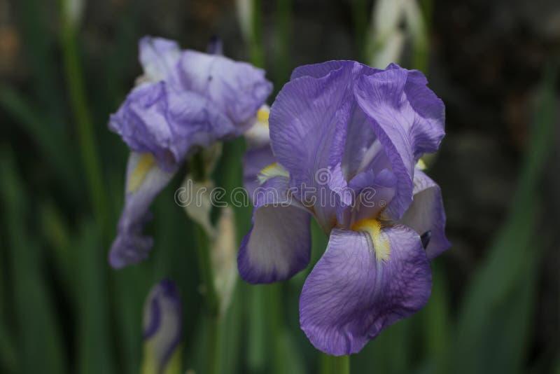Härlig skäggig iris, Iris Germanica arkivfoton