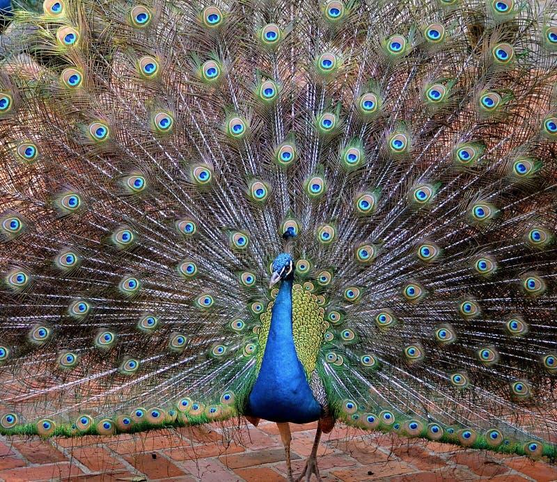 Härlig skärm av en stolt påfågel fotografering för bildbyråer