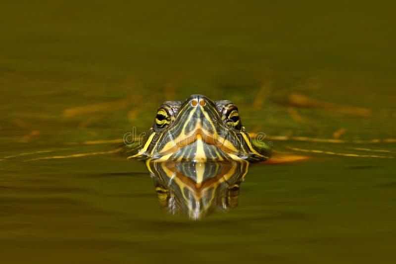 Härlig sköldpadda i floden Röd-gå i ax glidare, Trachemys scriptta Sköldpadda i naturflodlivsmiljö Portra för sköldpaddadetaljfra royaltyfri fotografi
