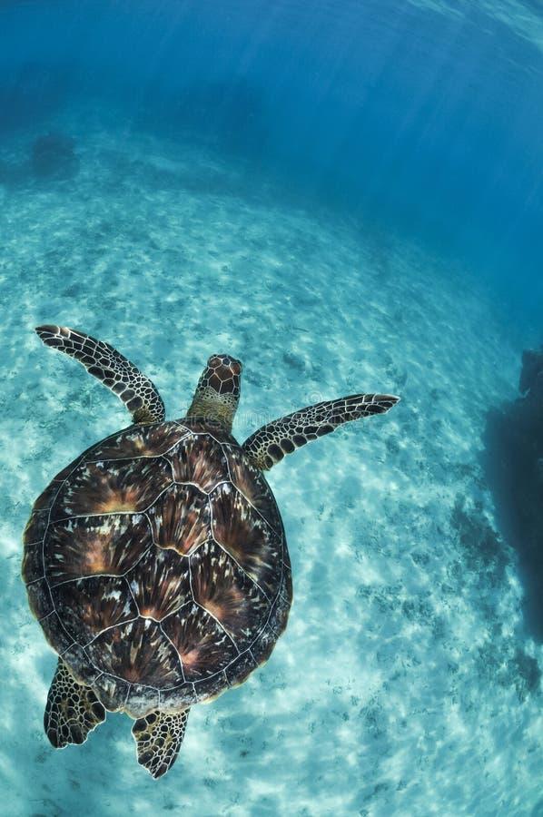 Härlig sköldpaddasimning i klart vatten av Okinawa arkivfoton