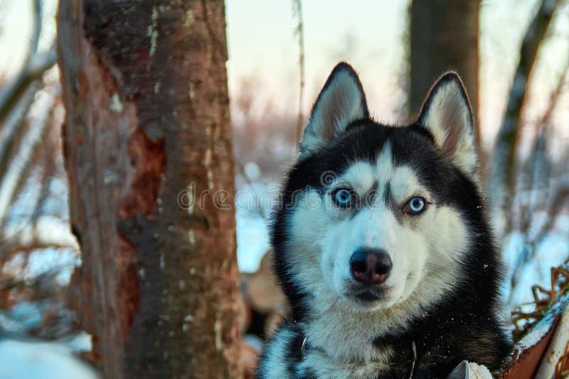 Härlig skrovlig hund för stående Ser siberian skrovligt för blåögd svartvit färg i vinteraftonskog nära på photographe arkivfoto