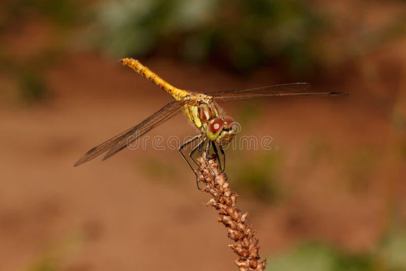 Härlig slända med genomskinliga vingar tätt upp Djur i djurliv arkivbild