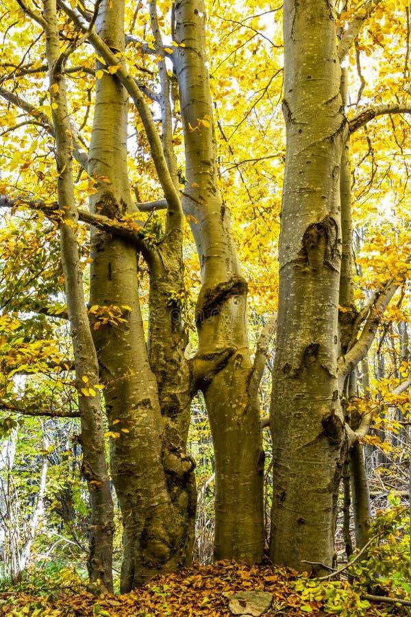 Härlig sluta sig samman guld färgade höstbokträdträd i skogarna av det Vitosha berget, Bulgarien arkivbilder