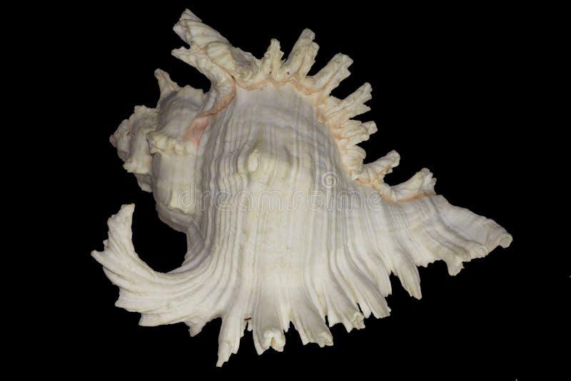 Härlig snäckskalmurexramosus royaltyfri bild