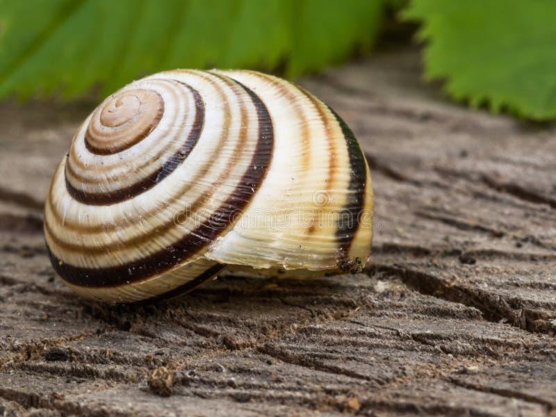 Härlig snigel i dess spiral skal med sidor på backgrounen royaltyfria foton