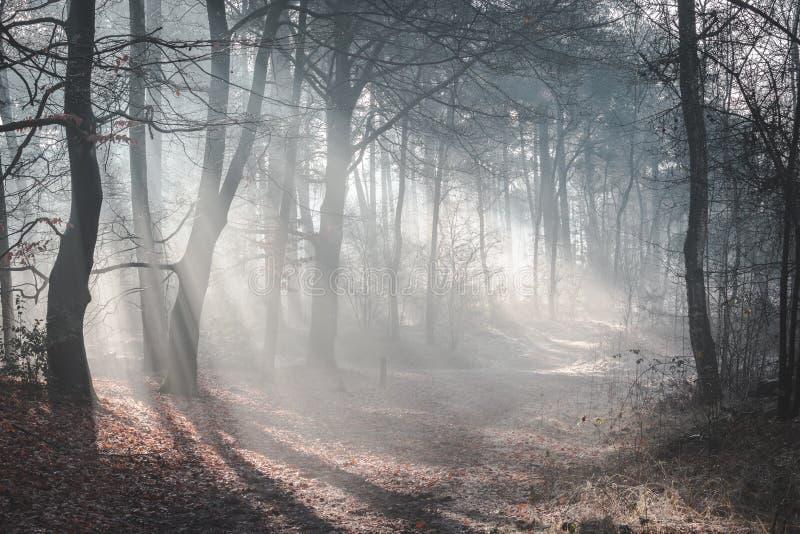 Härlig solbelyst skogslinga på en dimmig morgon med solstrålar som upp tänder skoggolvet royaltyfri foto
