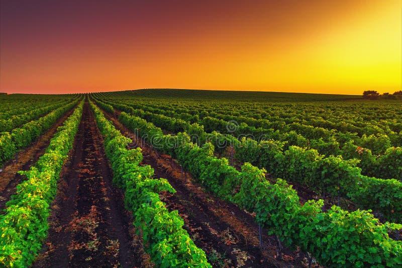 Härlig solnedgång över vingårdfält i Europa royaltyfria bilder