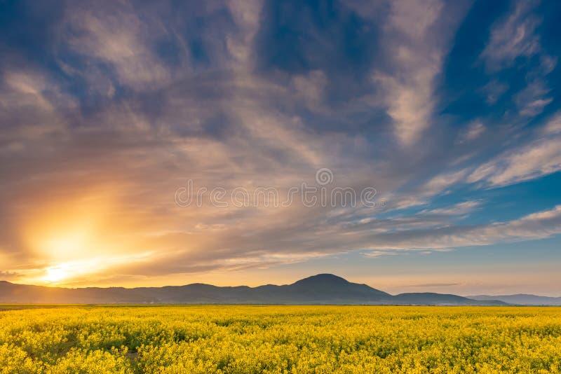 Härlig solnedgång i en vårafton över en färgrik ljus gul skörd för rapsfröBrassicanapus, med dramatisk molnig himmel och arkivbild