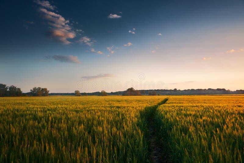 Härlig solnedgång i fält med vandringsledet, vårlandskap, ljus färgrik himmel och moln som bakgrund, grönt vete royaltyfria foton