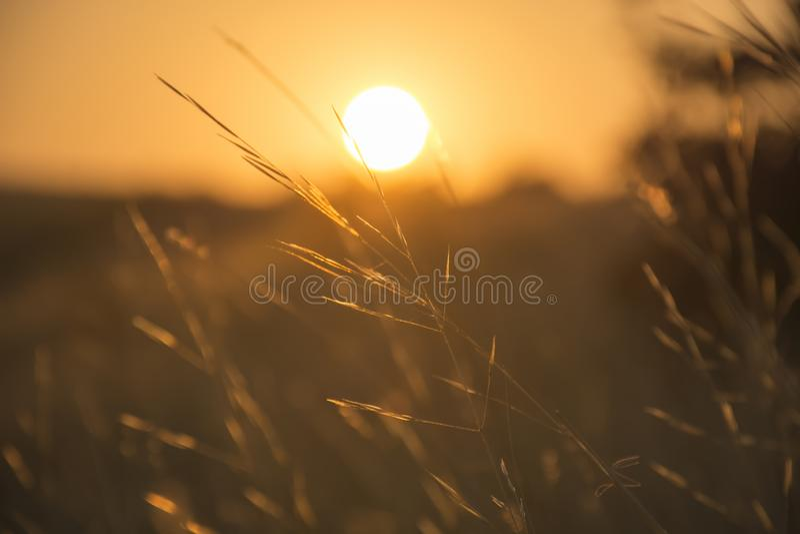 härlig solnedgång Torrt gräs i solljuset på suddig naturbakgrund för solnedgång royaltyfri bild